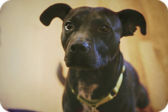 Pit Bull Terrier Mix Dog for adoption in Dallas, Texas - Rocky