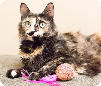 Domestic Shorthair Cat for adoption in Chicago, Illinois - Spice