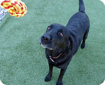 Labrador Retriever Dog for adoption in Falls Church, Virginia - Mattie & Abby