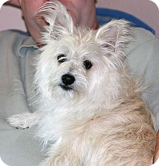West Highland Terrier Mix Puppies Jenai | Adopted Dog | ...