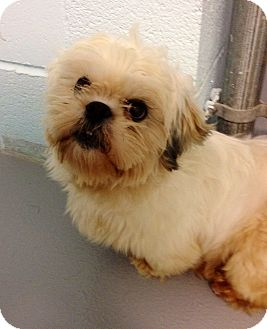 Shih Tzu Mix Dog for adoption in Muskegon, Michigan - Abner