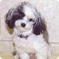 Adopt A Pet :: MUNCHKIN - Palm Coast, FL