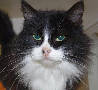 Domestic Shorthair Cat for adoption in Longview, Washington - Oreo