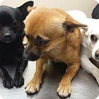 Adopt A Pet :: 2 Chihuahua Males - Pompton lakes, NJ