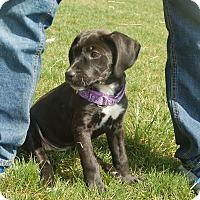 Adopt A Pet :: Rose - Sinking Spring, PA