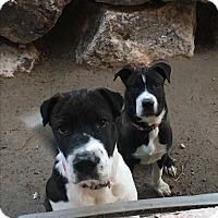 Adopt A Pet :: Veil - Las Vegas, NV