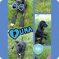 Adopt A Pet :: Puma - Marlton, NJ