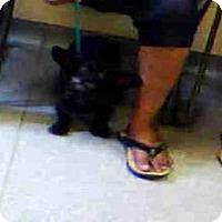 Adopt A Pet :: EBONY - Louisville, KY