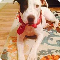 Pit Bull Terrier/Labrador Retriever Mix Dog for adoption in Brattleboro, Vermont - Sissy
