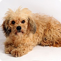 Adopt A Pet :: Theresa Terrier - St. Louis, MO