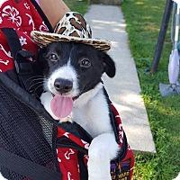 Adopt A Pet :: Callie - New Oxford, PA
