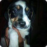 Adopt A Pet :: Snickers - Kendall, NY