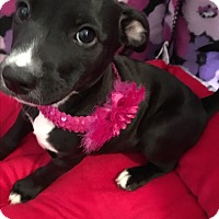 Adopt A Pet :: Carley-ADOPTION PENDING - Cranston, RI