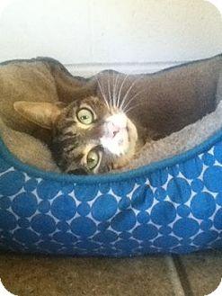 Domestic Shorthair Cat for adoption in Shippenville, Pennsylvania - Skittles