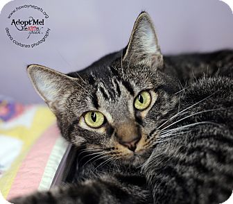 Domestic Shorthair Cat for adoption in Lyons, New York - Chiffon