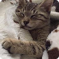 Domestic Shorthair Kitten for adoption in Waukesha, Wisconsin - Thor