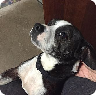 Boston Terrier/Chihuahua Mix Dog for adoption in Geneseo, Illinois - Sparky