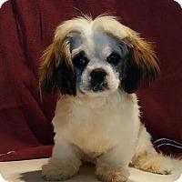 Adopt A Pet :: Comet - Overland Park, KS