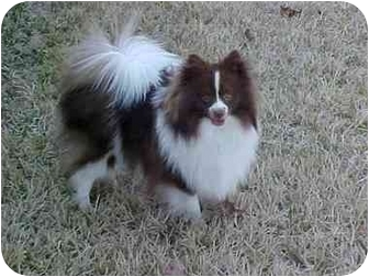 Pomeranian Dog for adoption in conroe, Texas - Bear