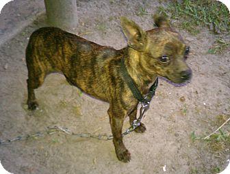 ... Dog | PASS 12-00122 | Baton Rouge, LA | Boston Terrier/Chihuahua Mix