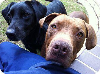 Labrador Retriever/American Pit Bull Terrier Mix Dog for adoption in Bellflower, California - Lady