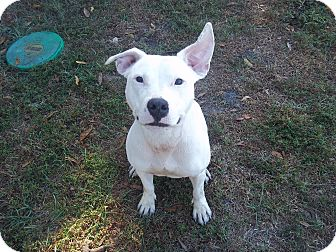 Pit Bull Terrier Mix Dog for adoption in Tampa, Florida - Lowla