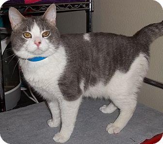 Domestic Shorthair Cat for adoption in Witter, Arkansas - FERGUS