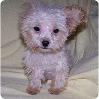 Adopt A Pet :: Pocket ADOPTION PENDING!! - Antioch, IL