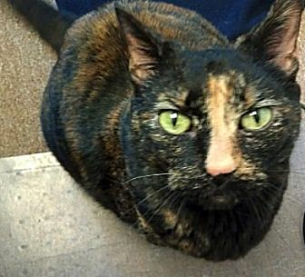 Domestic Shorthair Cat for adoption in Kingston, Washington - Zelda