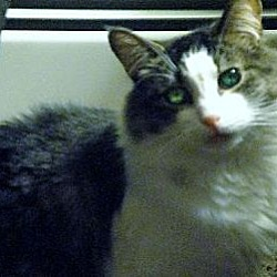 Photo 2 - Maine Coon Cat for adoption in Blairstown, New Jersey - CP - NJ - Noble Noah