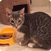 Adopt A Pet :: Nico - Delray Beach, FL