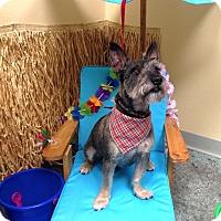 Scottie, Scottish Terrier Dog for adoption in Tijeras, New Mexico - Zing