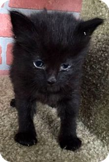 Domestic Shorthair Kitten for adoption in Porter, Texas - Licorice