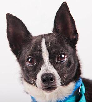 Chihuahua Dog for adoption in Colorado Springs, Colorado - Buster