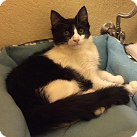 Domestic Mediumhair Kitten for adoption in Tucson, Arizona - Wonder Twin Zan