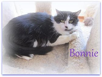 Domestic Mediumhair Cat for adoption in Culpeper, Virginia - Bonnie