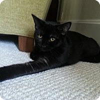 Domestic Shorthair Kitten for adoption in Cincinnati, Ohio - John Boy