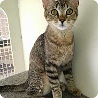 Domestic Shorthair Kitten for adoption in Dallas, Texas - Estella