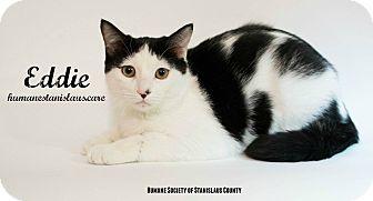 Domestic Shorthair Kitten for adoption in Modesto, California - Eddie