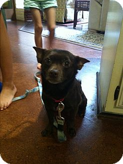 Corgi/Chihuahua Mix Dog for adoption in Boerne, Texas - Theodore
