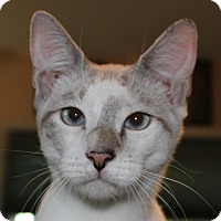 Siamese Cat for adoption in Fairfax, Virginia - Pidgey