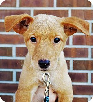 German Shepherd Dog/Border Collie Mix Puppy for adoption in Gretna, Nebraska - Vulcan *Juno's Puppy*