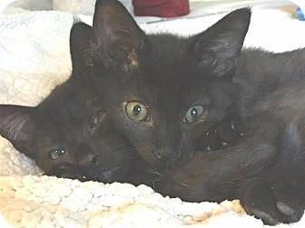 Domestic Shorthair Kitten for adoption in Cumberland, Maine - Kitten Seymour