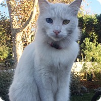 Adopt A Pet :: Maggie P.K. (pretty kitty) - u - los Angeles, CA