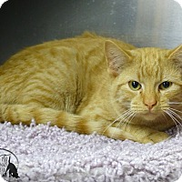 Domestic Shorthair Cat for adoption in Marlinton, West Virginia - Ray