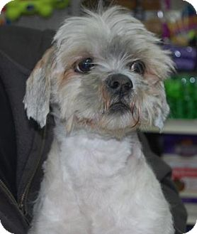 Lhasa Apso Mix Dog for adoption in Brooklyn, New York - Stan