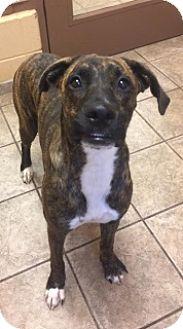 Mastiff/Labrador Retriever Mix Dog for adoption in Joplin, Missouri - Lucky 5307