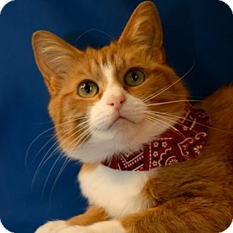 Domestic Shorthair Cat for adoption in Green Bay, Wisconsin - Tawny
