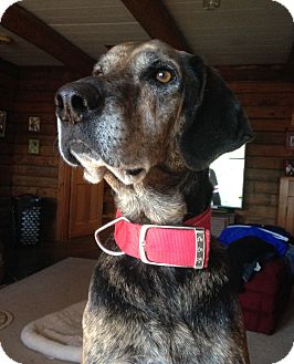 Great Dane/Coonhound Mix Dog for adoption in West Sand Lake, New York - Homer (61 lb) Sweetheart!