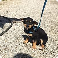 Adopt A Pet :: Allie - Harrisonburg, VA